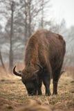Bisonte na chuva foto de stock royalty free