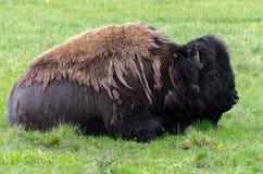 Bisonte na chuva fotografia de stock