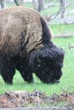 Bisonte na chuva imagem de stock royalty free