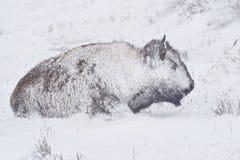 Bisonte na tempestade do inverno Imagens de Stock