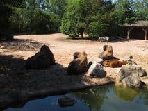 Bisonte in natura Immagini Stock