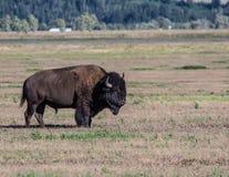Bisonte nel Montana Fotografia Stock