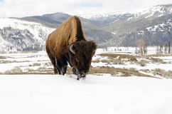 Bisonte nella neve. Parco nazionale di Yellowstone immagini stock libere da diritti