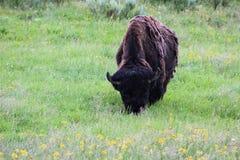 Bisonte nella sosta nazionale del yellowstone Immagine Stock