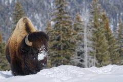 Bisonte no inverno fotos de stock