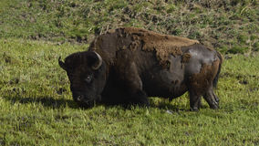 Bisonte no pântano fotografia de stock royalty free