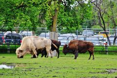 Bisonte no parque de Assiniboine, Winnipeg, Manitoba imagem de stock royalty free