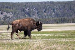 Bisonte no parque nacional de yellowstone Imagens de Stock