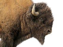 Bisonte no parque nacional de yellowstone Fotografia de Stock