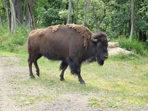 Bisonte no pasto Foto de Stock Royalty Free