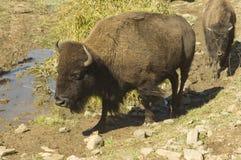 Bisonte no waterhole Imagens de Stock Royalty Free