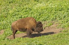 Bisonte norte-americano Fotografia de Stock