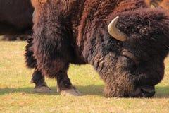 Bisonte norteamericano Imagen de archivo libre de regalías