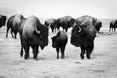 Bisonte o Buffalo con il bambino immagini stock