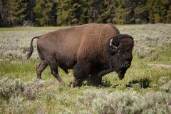 Bisonte ou Yellowstone Fotos de Stock