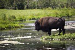 Bisonte pelo lago Foto de Stock Royalty Free