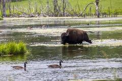 Bisonte pelo lago Imagem de Stock