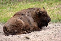 Bisonte in Polonia Fotografia Stock Libera da Diritti