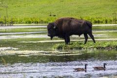 Bisonte por el lago Imagen de archivo libre de regalías