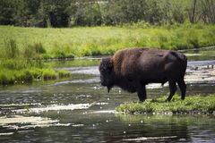 Bisonte por el lago Foto de archivo libre de regalías