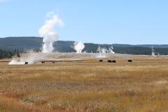 Bisonte que alimenta por un lavabo más bajo del géiser del parque nacional de Yellowstone Foto de archivo