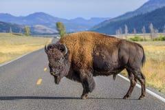 Bisonte que bloquea el camino en Yellowstone Imagenes de archivo