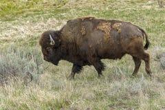 Bisonte que camina en Yellowstone fotos de archivo