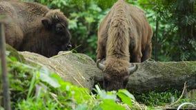 Bisonte que come la hierba en el parque zoológico almacen de video