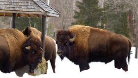 Bisonte que come na estação do alimento Fotografia de Stock