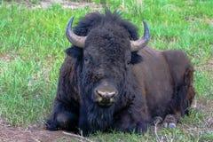 Bisonte que descansa no parque nacional grande de Teton em Jackson Hole, Wyoming fotos de stock royalty free