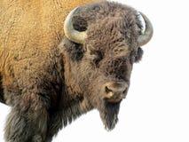 Bisonte que olha nos no parque nacional de Yellowstone Fotos de Stock Royalty Free