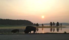 Bisonte que pasta en el parque nacional de Yellowstone Fotos de archivo