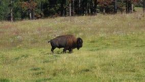Bisonte que pasta en un campo de la hierba almacen de video