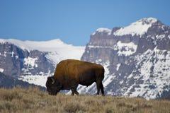 Bisonte que pasta en Yellowstone Imagen de archivo libre de regalías