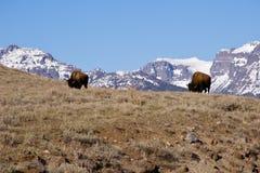 Bisonte que pasta en Yellowstone Fotos de archivo libres de regalías