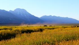 Bisonte que pasta por la tarde en el Tetons magnífico Imagen de archivo libre de regalías