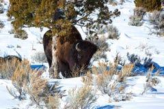 Bisonte que rasguña contra árbol en nieve Imagen de archivo