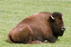 Bisonte a riposo Fotografie Stock