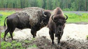 Bisonte salvaje en naturaleza almacen de metraje de vídeo