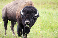 Bisonte selvagem Fotos de Stock