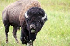Bisonte selvaggio Fotografie Stock