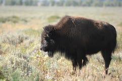 Bisonte solitário Imagem de Stock Royalty Free