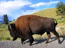 Bisonte sul movimento Fotografia Stock Libera da Diritti