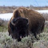 Bisonte sulla gamma fotografie stock libere da diritti