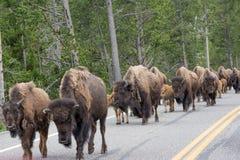 Bisonte sulla strada ancora Fotografie Stock