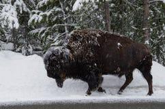 Bisonte in una bufera di neve fotografie stock