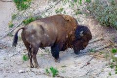 Bisonte viejo en el parque nacional de Yellowstone foto de archivo libre de regalías