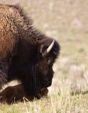 Bisonte y becerro fotografía de archivo