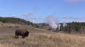 Bisonte y géiseres almacen de video