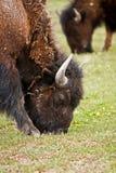 Bisonte in Yellowstone Immagini Stock